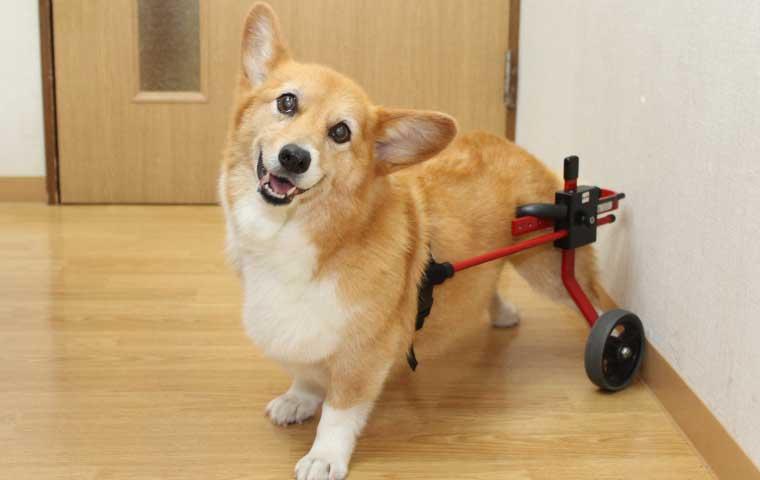 小島動物病院アニマルウェルネスセンター|リハビリテーション【車椅子・コルセット・ハーネス】